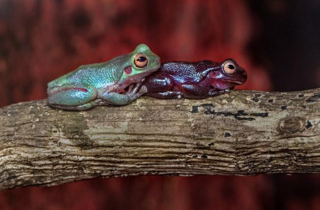 两只树蛙高清高清图