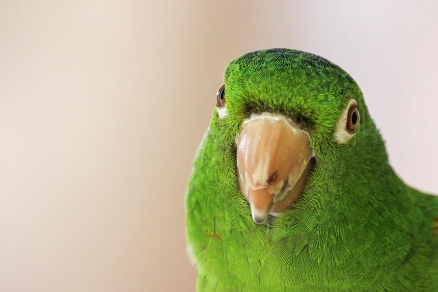 绿色鹦鹉头部特写高清图片