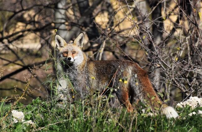 野生狐狸高清图片素材
