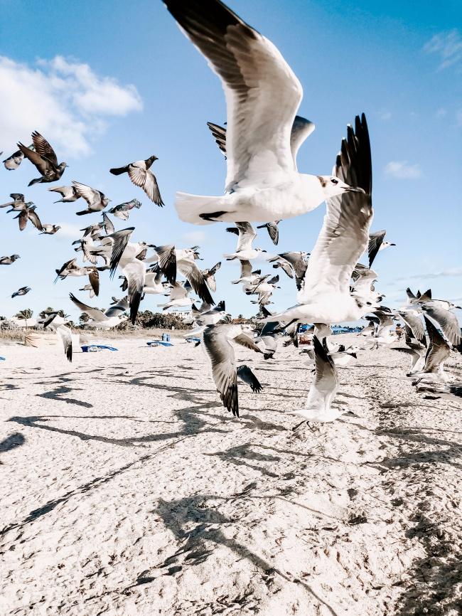海鸥飞翔壁纸图片下载