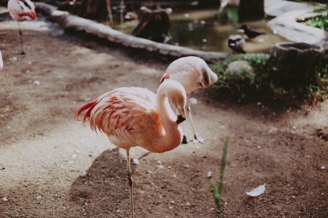 粉红火烈鸟图片