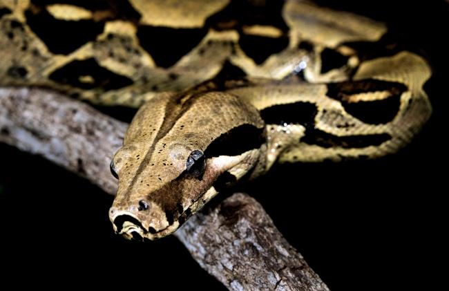 黑花蟒蛇高清图