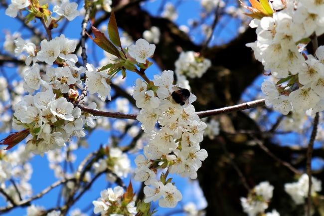 苹果树白色花朵高清图