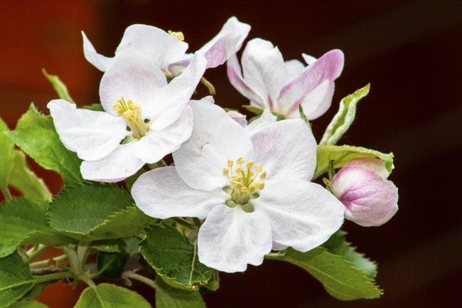 白色苹果花开花高清图片