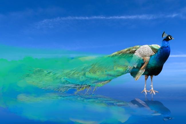 长尾蓝孔雀精美图片