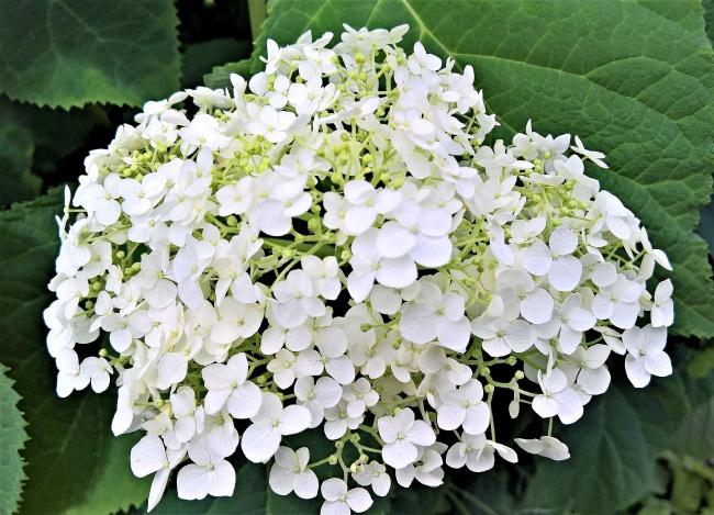 纯白色绣球花图片