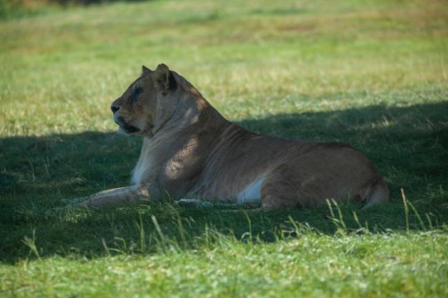 慵懒母狮子图片素材