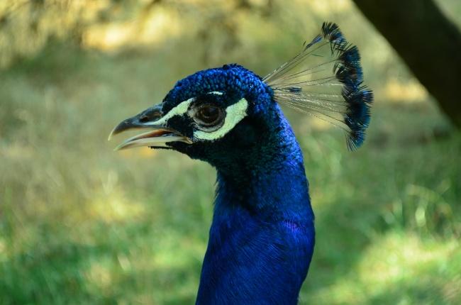 蓝孔雀头部近景特写高清图片