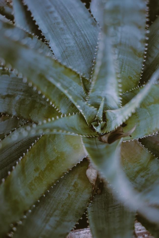 芦荟植物图片