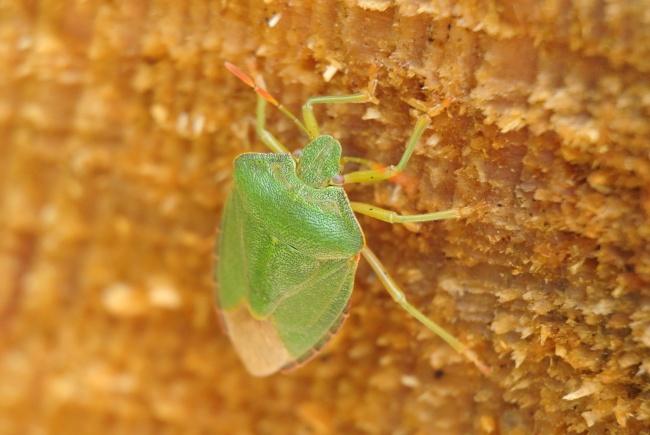 绿色蝽蟓高清图片