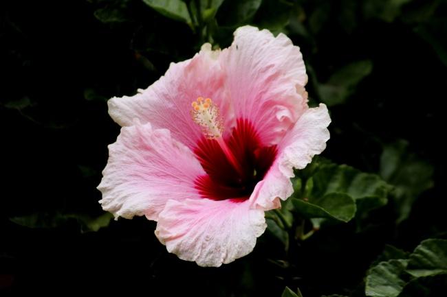 粉色木槿花高清图片下载