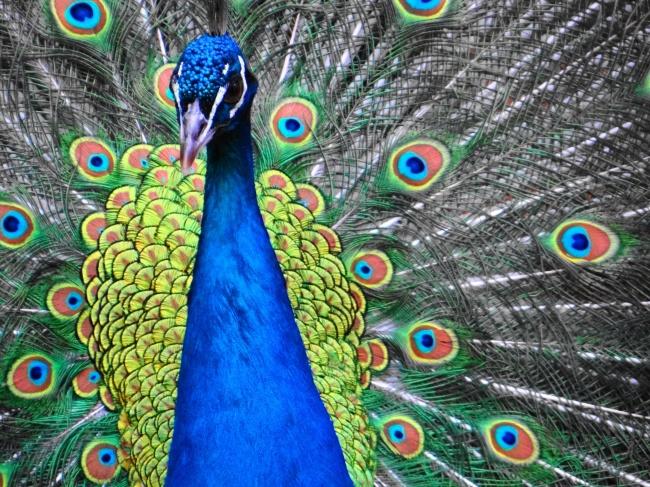 蓝孔雀开屏特写精美图片