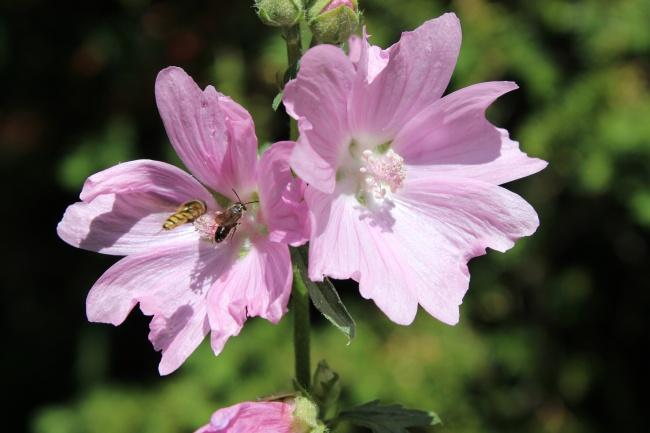 粉色蜀葵花盛开图片素材