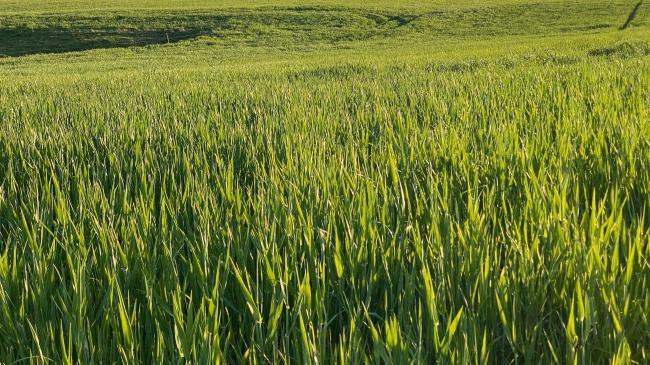 绿油油稻田高清图