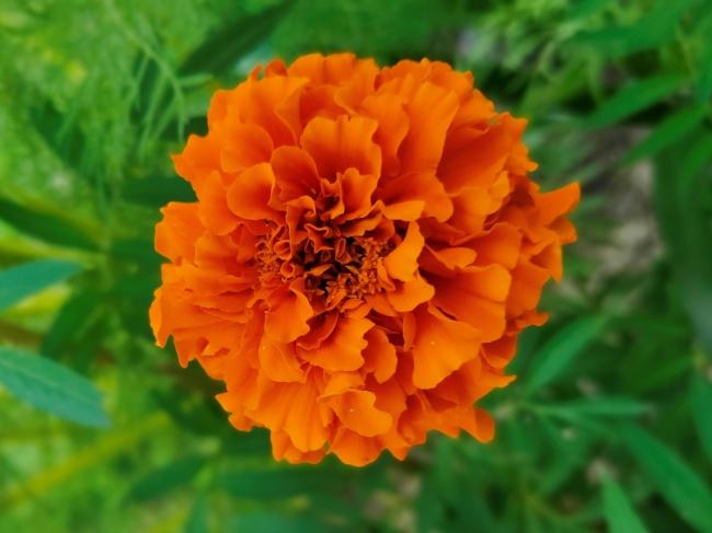 橙色金盏菊花朵摄影高清图片
