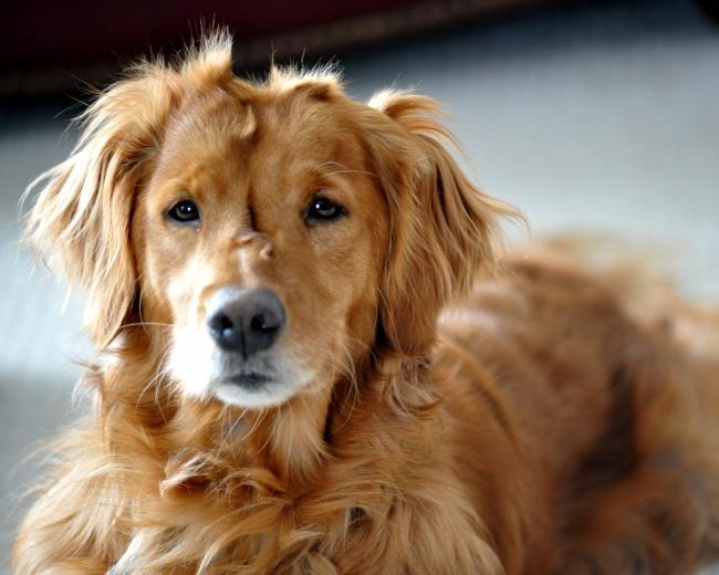 一只金毛寻回犬图片大全