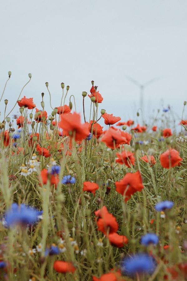 野生罂粟花素材高清图片