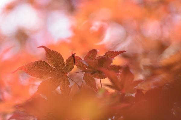 枫叶唯美意境图片
