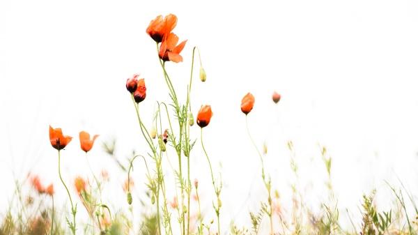 野生红花素材精美图片