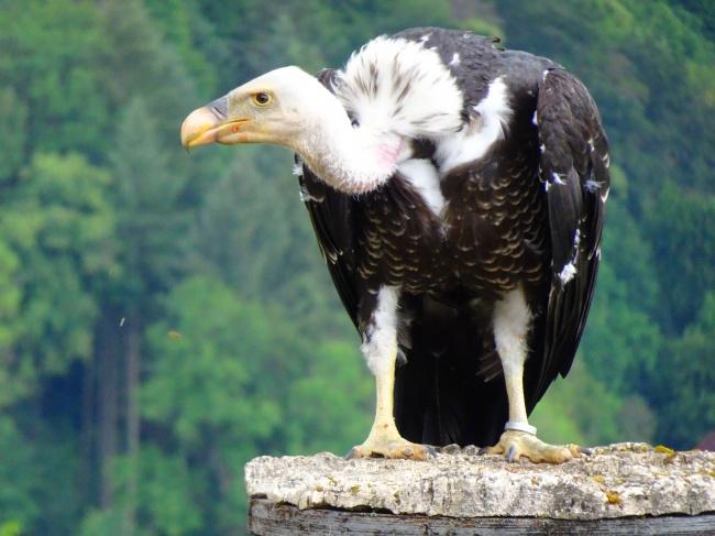 兀鹫猛禽图片素材