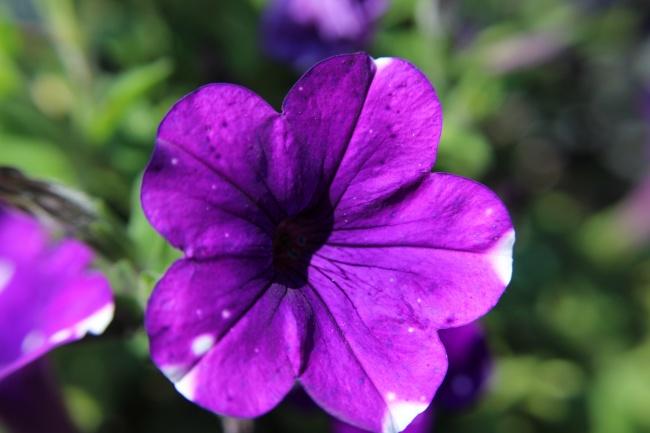 紫色矮牵牛花朵图片大全
