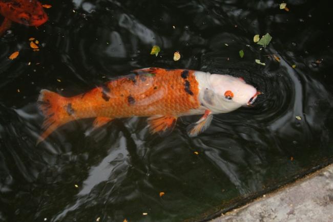 池塘热带观赏鱼高清图片