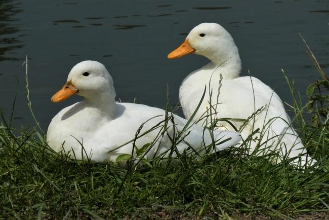 河边休憩的白色鸭子精美图片