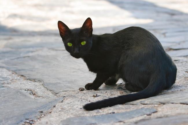 纯黑色家养小猫图片素材