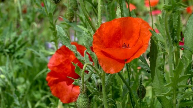 红罂粟鲜花摄影图片素材