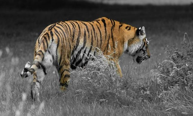 行走的大老虎高清图
