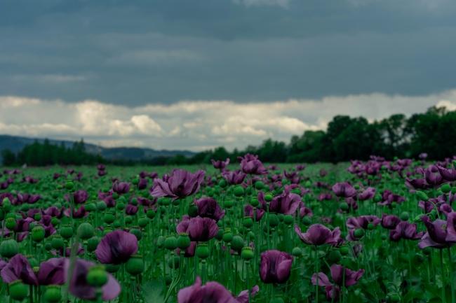 紫色罂粟花海图片