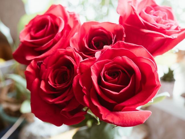 盛开的红色玫瑰花高清图片