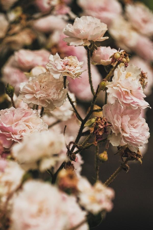 干枯的粉色花朵图片大全