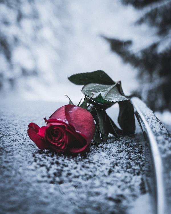 玫瑰花伤感意境图片