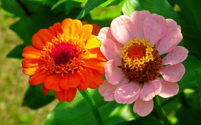 两朵百日菊图片素材