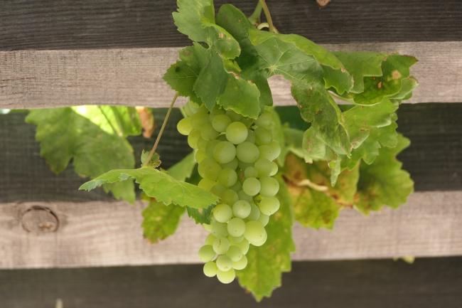 一串绿葡萄图片