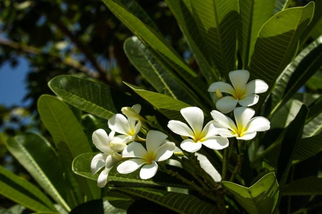 树上的白色鸡蛋花精美图片