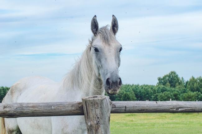 白色骏马高清图