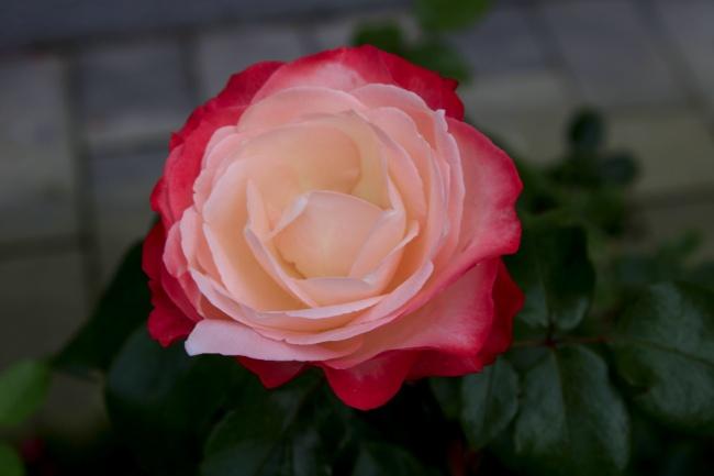 渐变玫瑰花高清图片