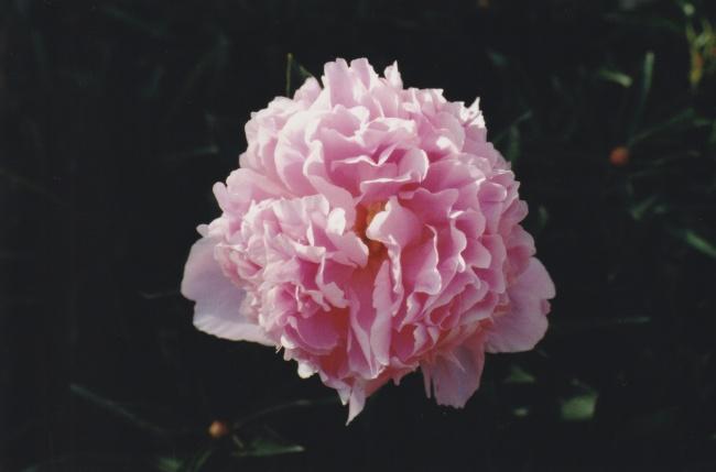 粉红牡丹近距离摄影高清图片