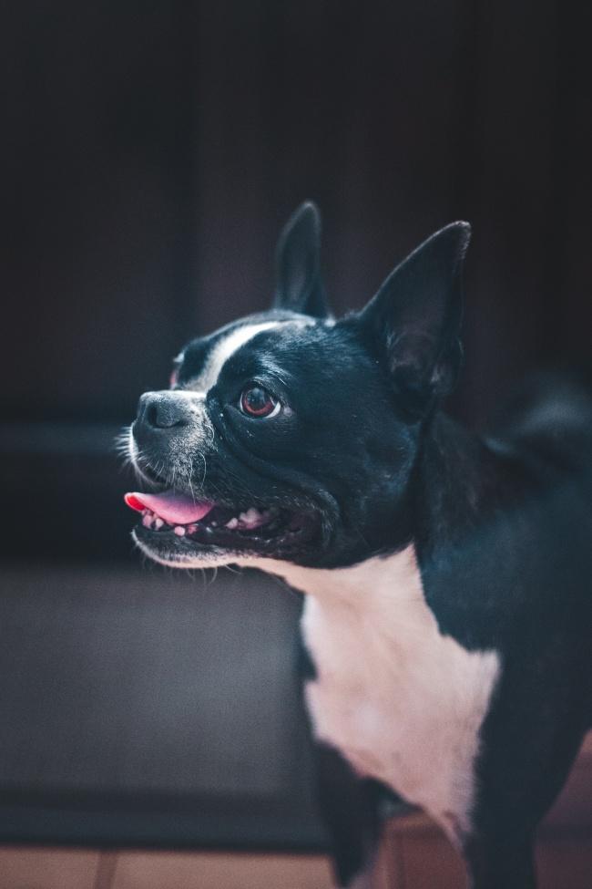 波士顿梗犬图片下载