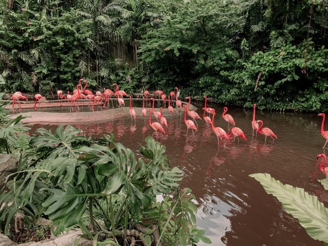 一群粉色火烈鸟图片