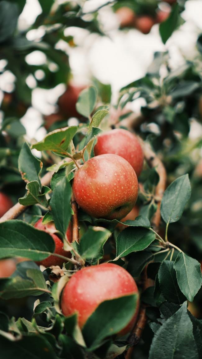 长在树上的嘎啦苹果图片大全