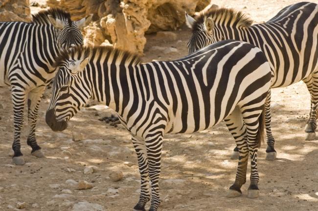 黑白条纹斑马动物高清图片