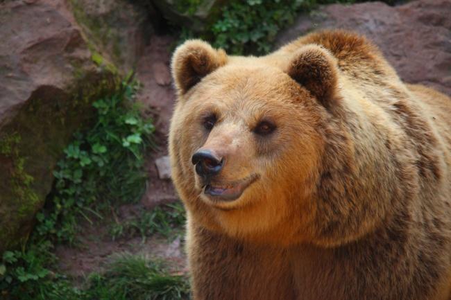 棕色熊图片素材