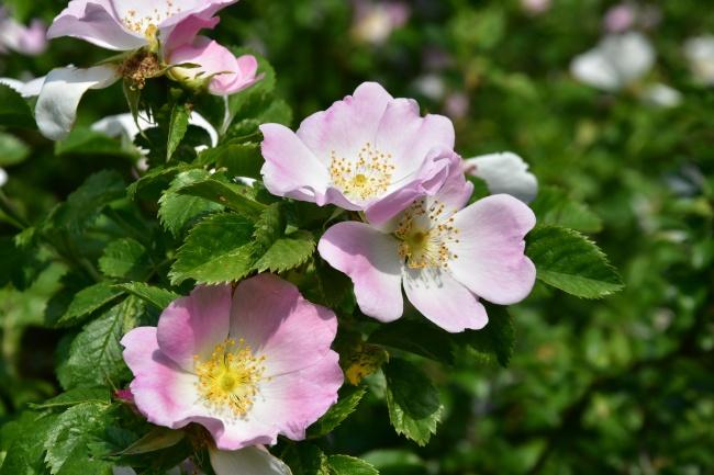 野玫瑰花朵盛开图片下载