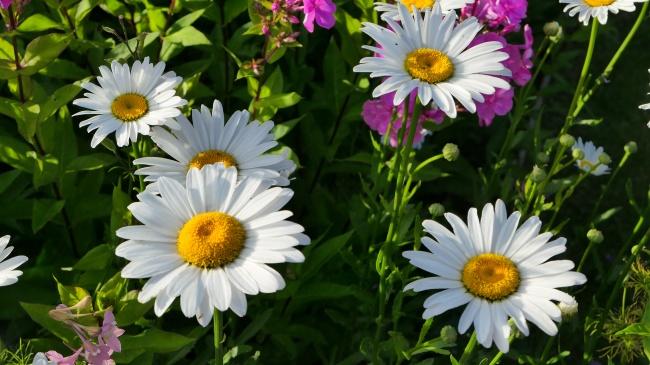 灿烂白菊花图片大全