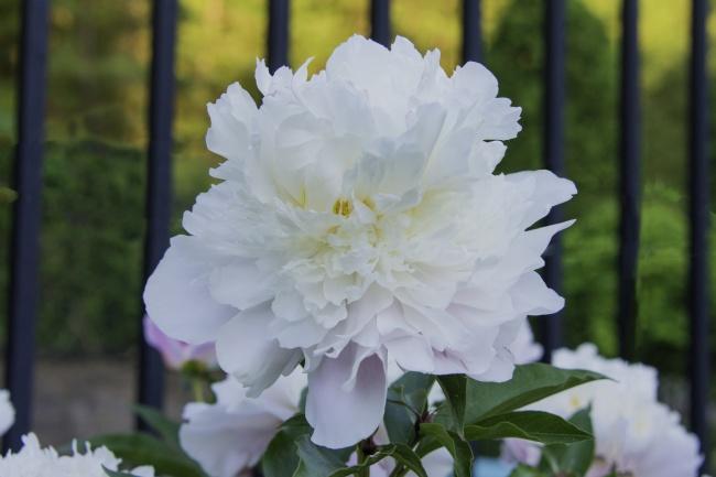 纯白色牡丹花朵图片素材
