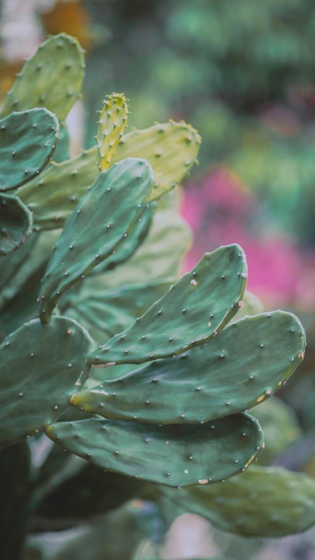 扁平仙人掌精美图片