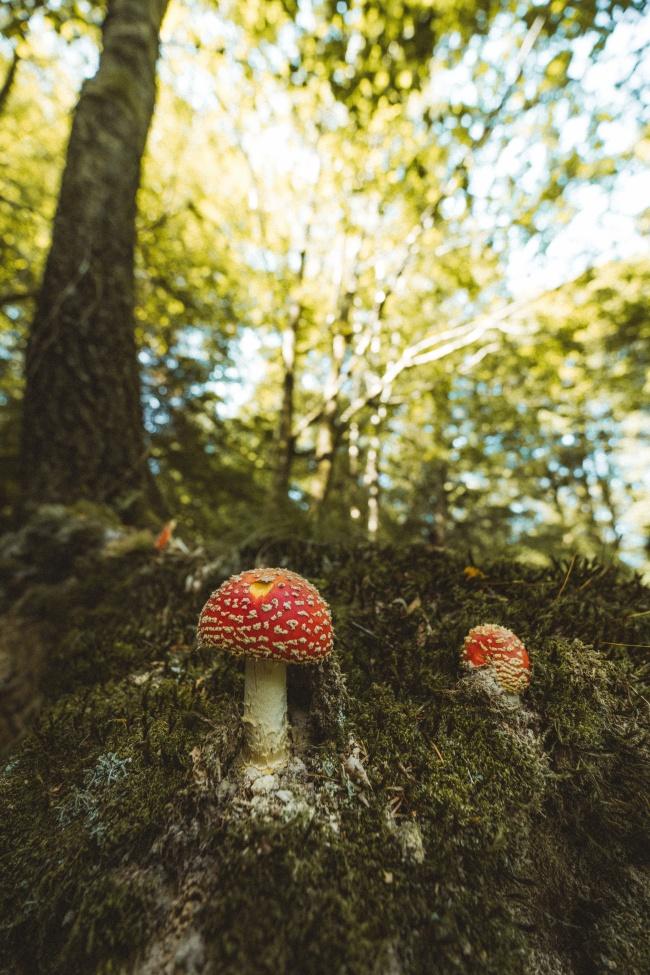 野生红色斑点蘑菇图片大全